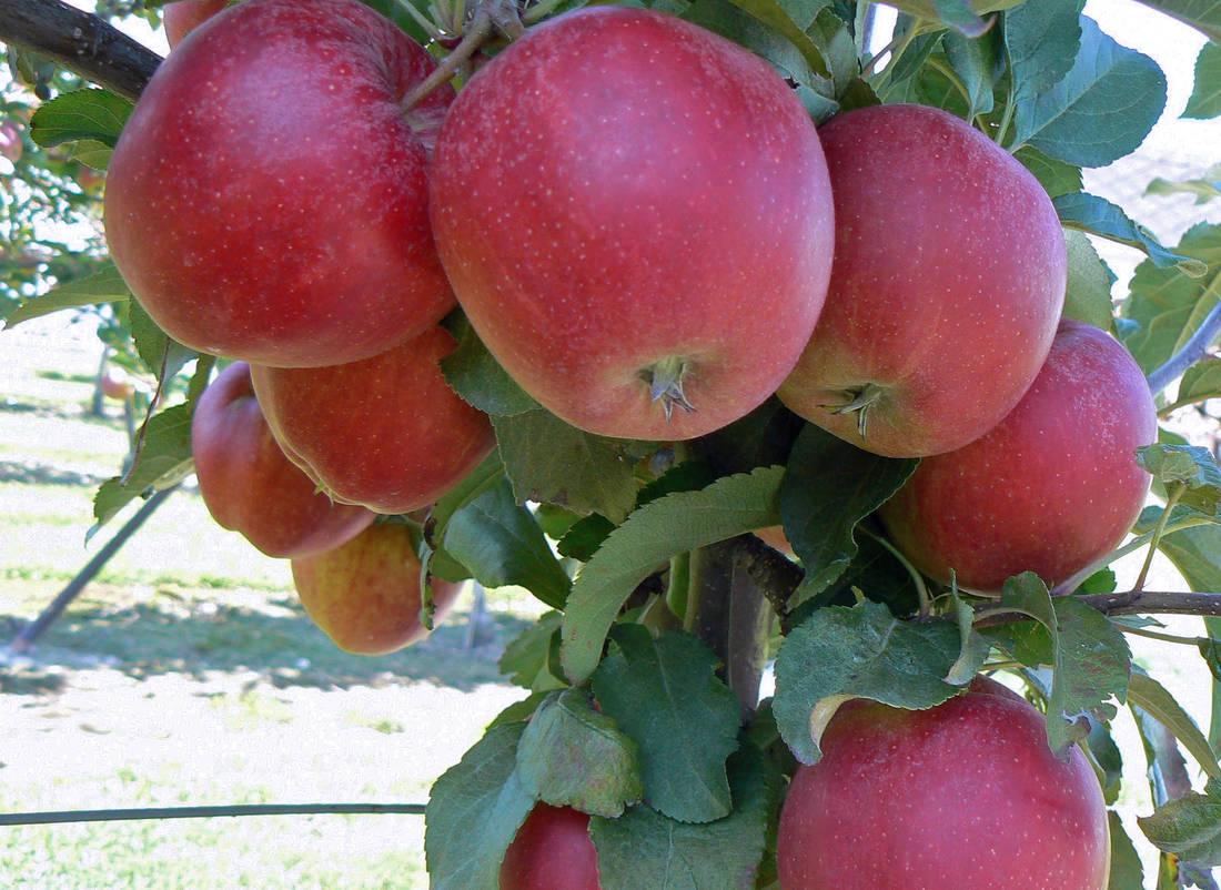 Jablka odrůdy Gala Must