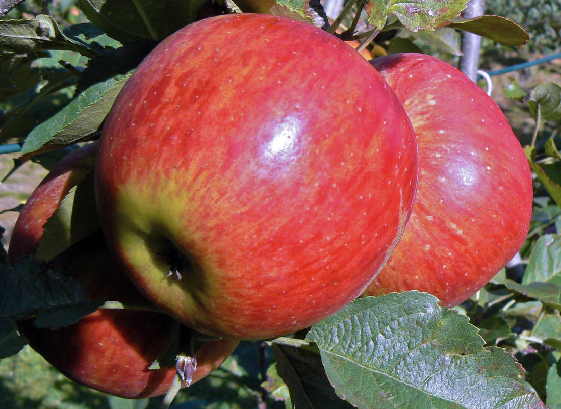 Jablka odrůdy Rubín