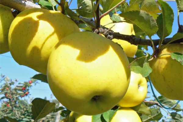 Jablko odrůdy Gold Bohemia