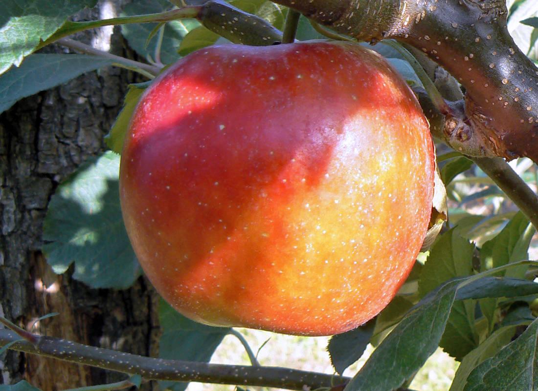 Jablko odrůdy Top Bohemia