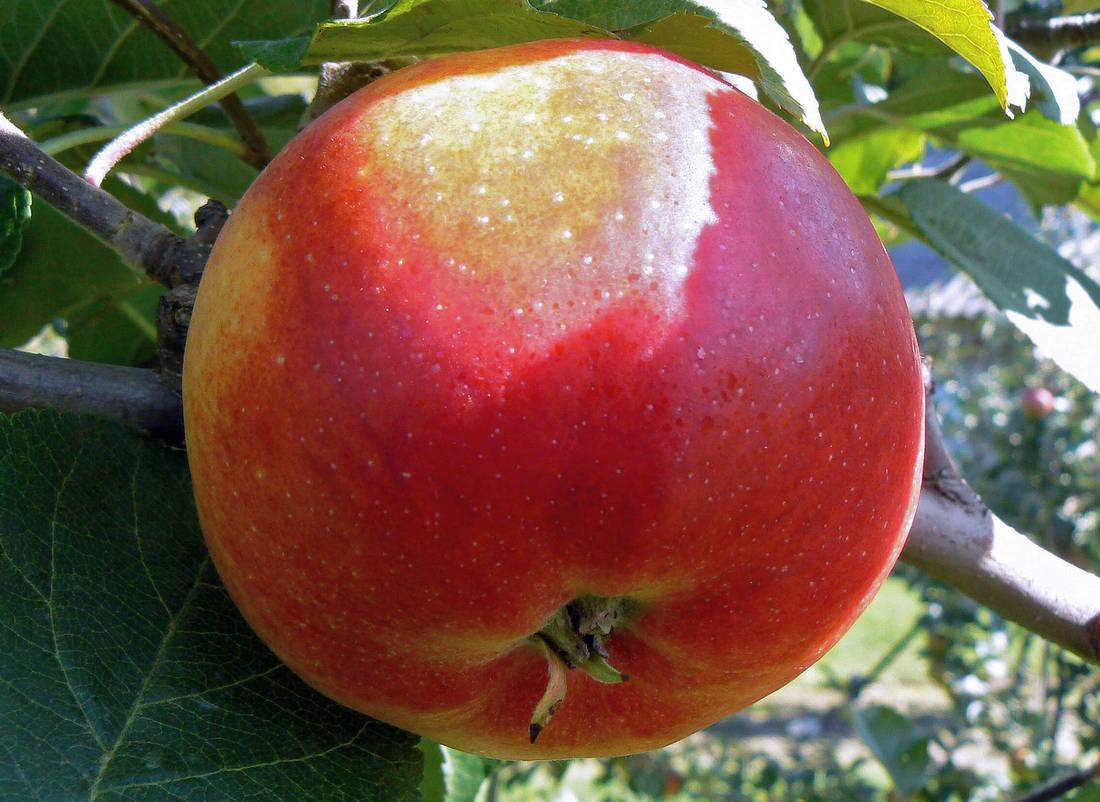 Jablko odrůdy Rubinola