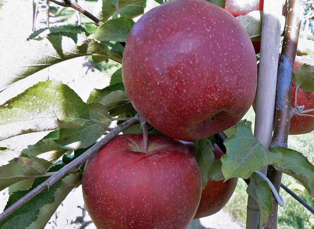 Jablka mutace Jonagoldu – Red Jonaprince