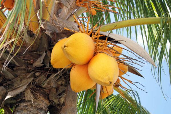 Peckovice kokosovníku ořechoplodého