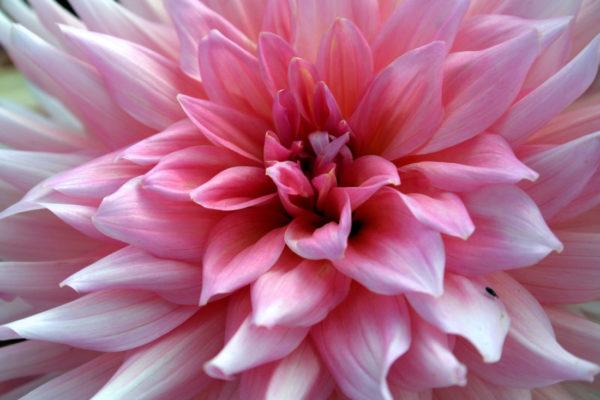 Kvetoucí jiřina (Dahlia)