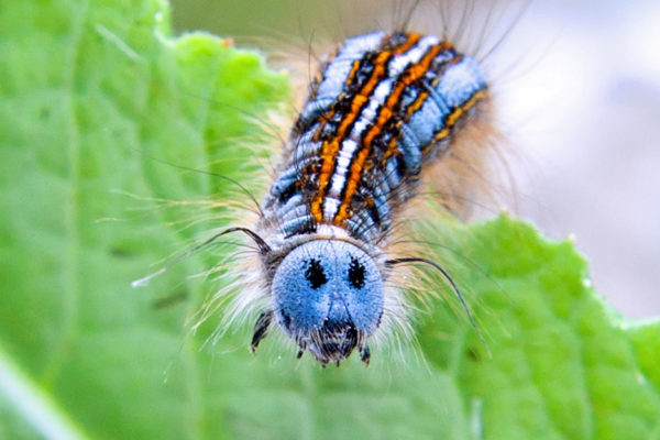 Larva bourovce
