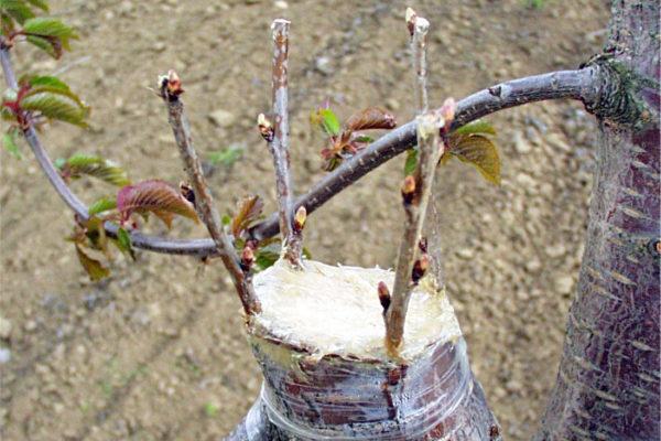 Přeroubováná větev třešně