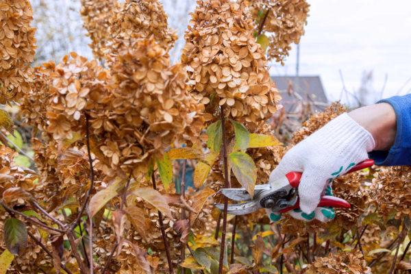 Zimní sestřih hortenzie a dalších keřových rostlin