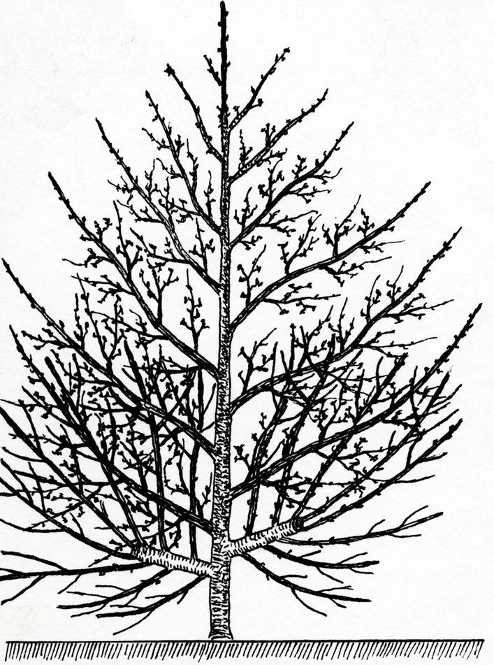 Přílš silný řez spodních větví