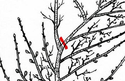 Řez koruny ovocného stromu