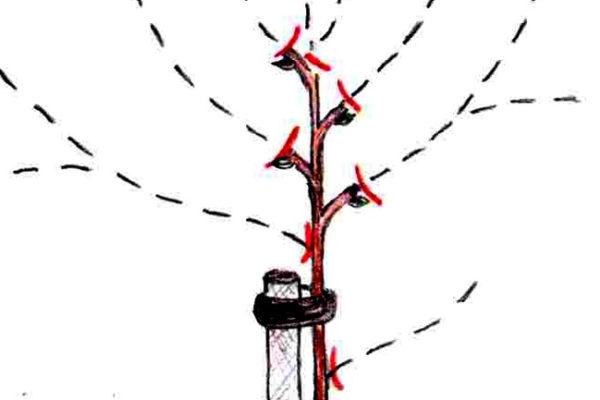 Jarní řez vysazeného ovocného stromku