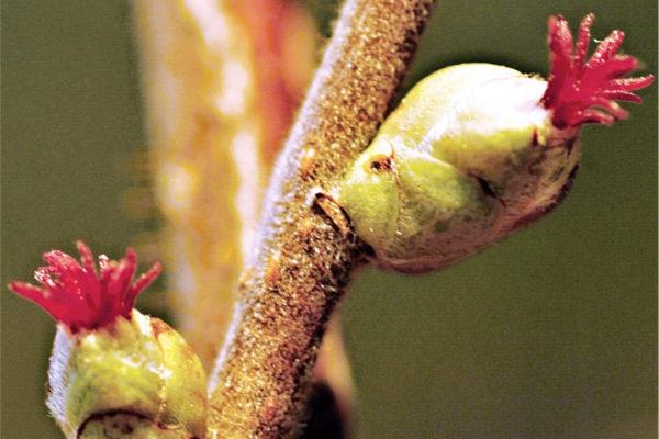 Líska obecná má samičí květy drobné