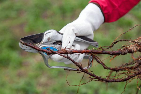 Oživení kořenů stromku řezem