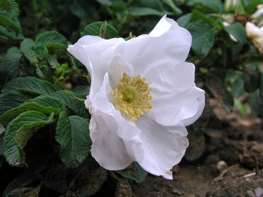 Blanka, hybrid růže Rugosa