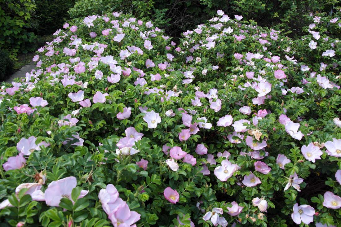 Růžový keř odrůdy Dagmar Hastrup