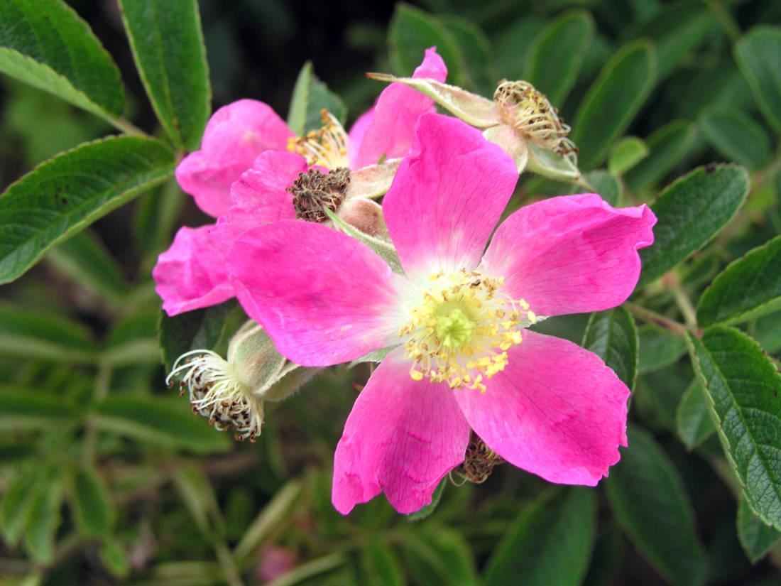 Violeta, hybrid růže svraskalé