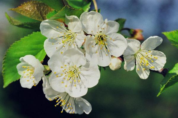 Květy višně