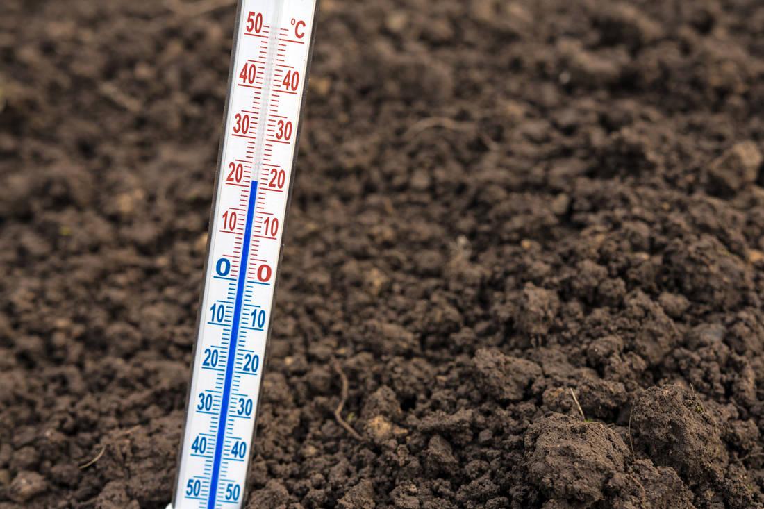 Teplota pro červnový výsev hlávkového salátu