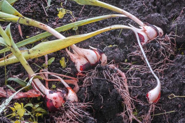 Vyzvedávání cibule tulipánu v druhé polovině června
