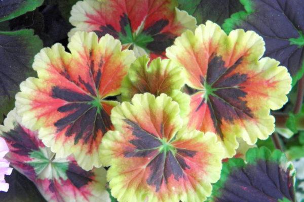 Petrei Colorful Miracle – panašovaná vzpřímená pelargonie