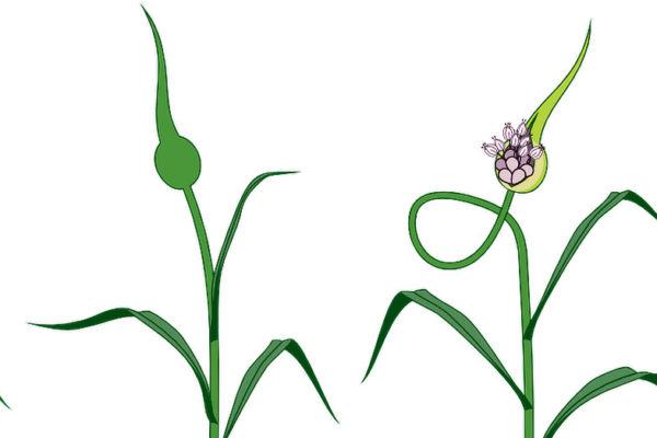 Kresba vývoje česnekové palice