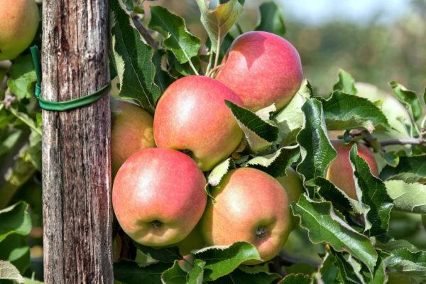 Opora jabloně
