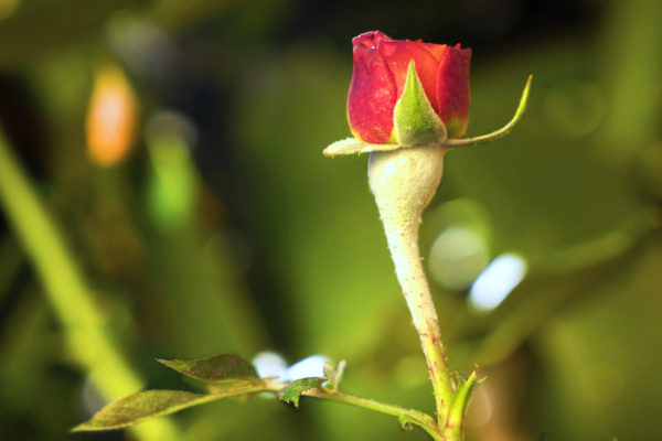 Padlí na růži