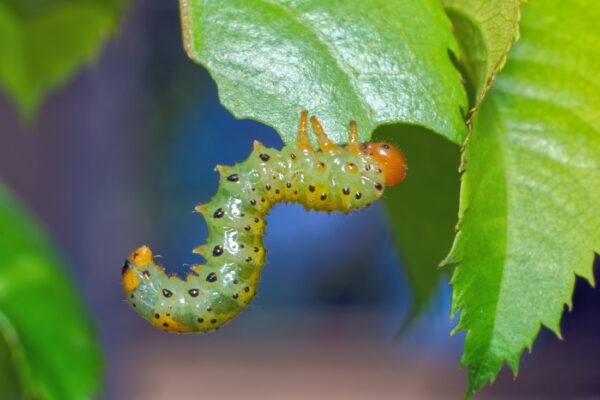 Larva pilatěnky ožírá růžový list
