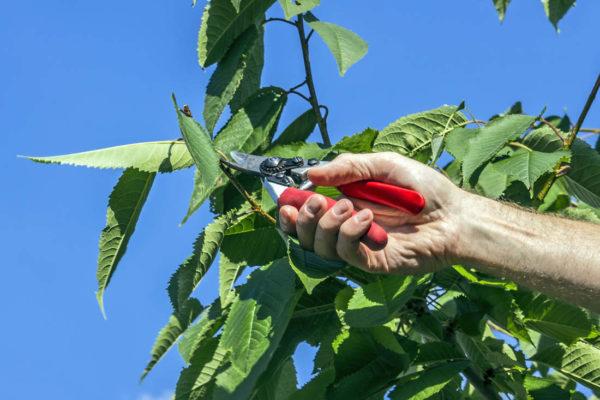 Průklest třešně v létě