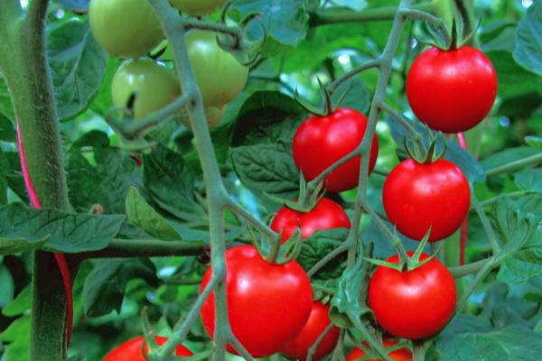 Rajče odrůdy Bejbino