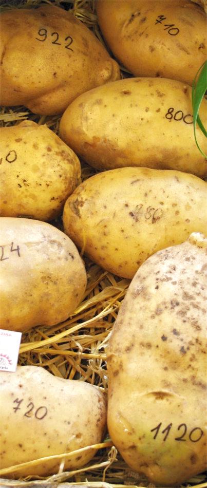 Obří brambory