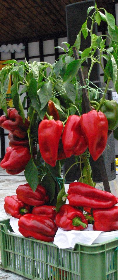 Obří papriky