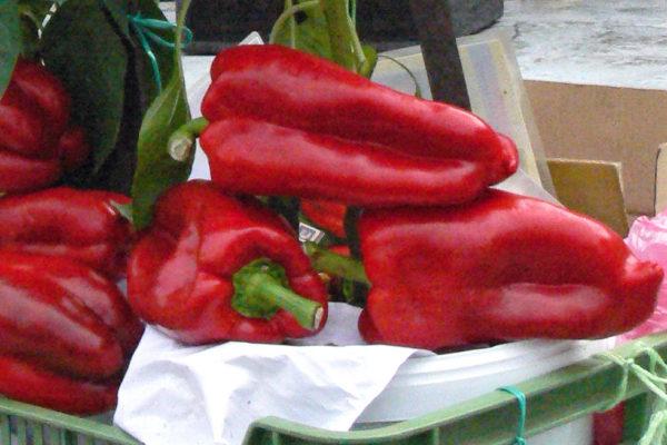 Obří papriky na zahradě Čech