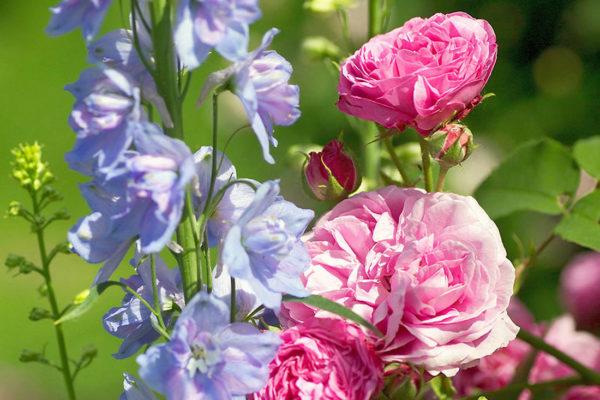 Růže a stračky
