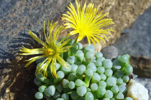 Fenestraria rhopalophylla subsp. aurantiaca