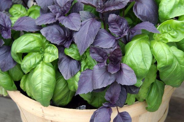 Bazalky pro zimní pěstování