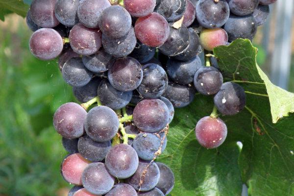 Odrůda Muscat Bleu