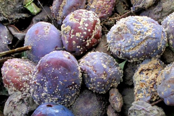 Moniliniózní ovoce