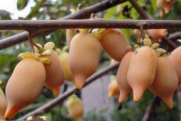 Aktinidie stříbrná (A. polygama), plody
