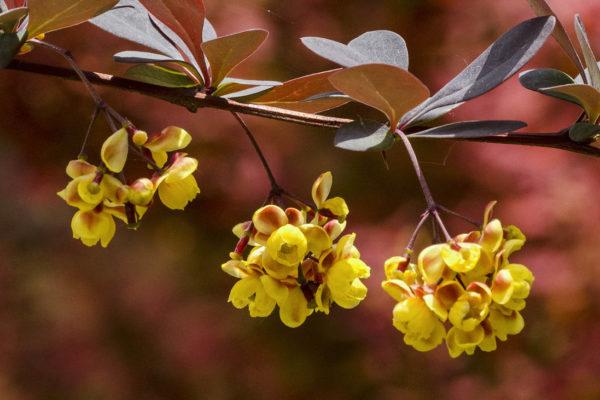 Drobné kvítky dřišťálů bývají žluté