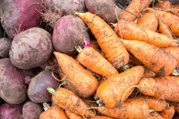 Kořenová zelenina po sklizni připravená k uskladnění;