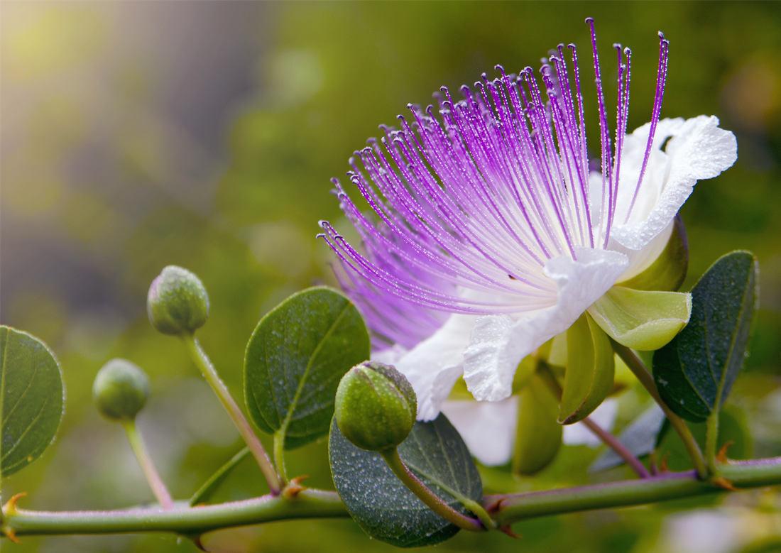 Květ a poupata kapary trnité; foto Shutterstock