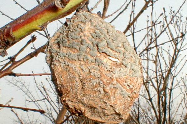 Houba rodu Monilia na broskvi
