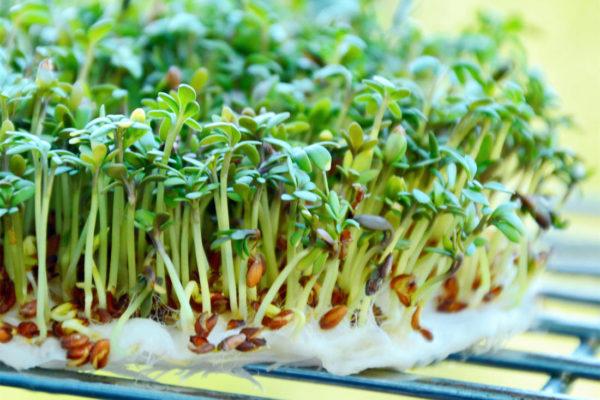 Řeřicha setá (Lepidium sativum)