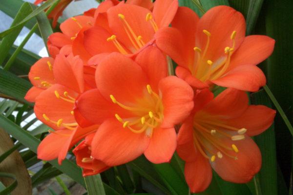 Klívie s květy v barvě suříku