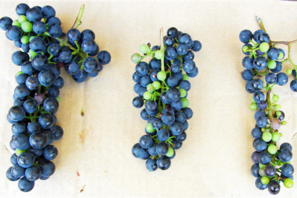 Hráškovatění na hroznech odrůdy isabella