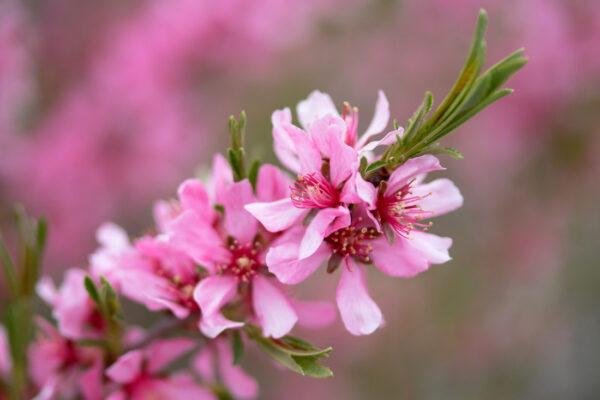 Mandloň kvete