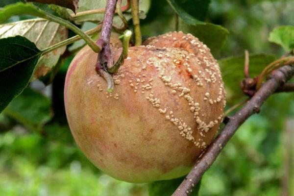 Jablko napadené infekční hnilobou