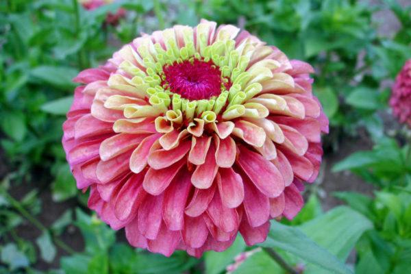 Ostálka v kombinaci růžových a citronových odstínů