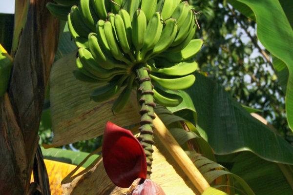 Plantejn, zeleninový banán