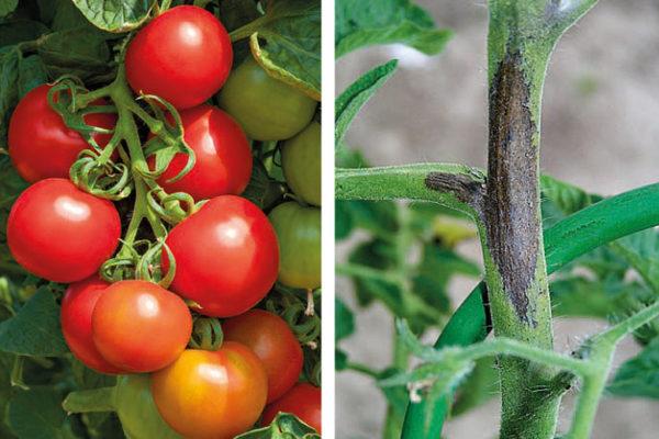 Odrůda rajčat Coctail Crush a projev plísně bramborové na stonku